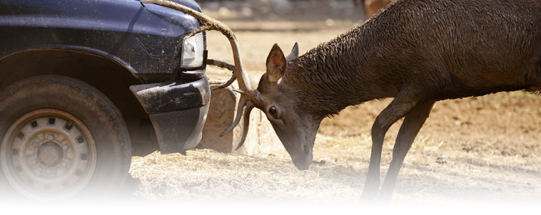 auto-deer-accident